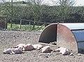 Aaaah^ Look at the little Piggies^ Essington Fruit Farm, Staffordshire - geograph.org.uk - 391866.jpg
