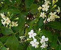 Abelia mosanensis 2015-05-29 OB 345.jpg