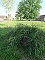 Weide-Trauerweide (Salix alba 'Tristis' )