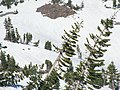 Abies magnifica with avalanche damage on Mount Shasta.jpg