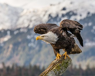 Bald eagle - At Kachemak Bay, Alaska.