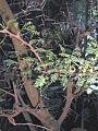 Acacia-horrida.jpg