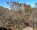 Acacia ataxacantha, habitus, Little Eden.jpg