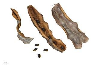 Acacia podalyriifolia - Acacia podalyriifolia – MHNT