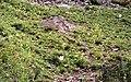 Acaena magellanica 2.jpg