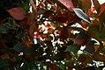 Acalypha wilkesiana Macrophylla 2zz.jpg