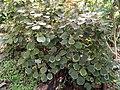 Acalypha wilkesiana var obovata - Copenhagen Botanical Garden - DSC07425.JPG