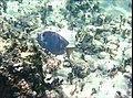 Acanthurus coeruleus (blue tang) (San Salvador Island, Bahamas) 7 (15528367544).jpg