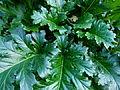 Acanthus mollis au Jardin des Plantes.JPG