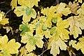 Acer campestre 3 RF.jpg