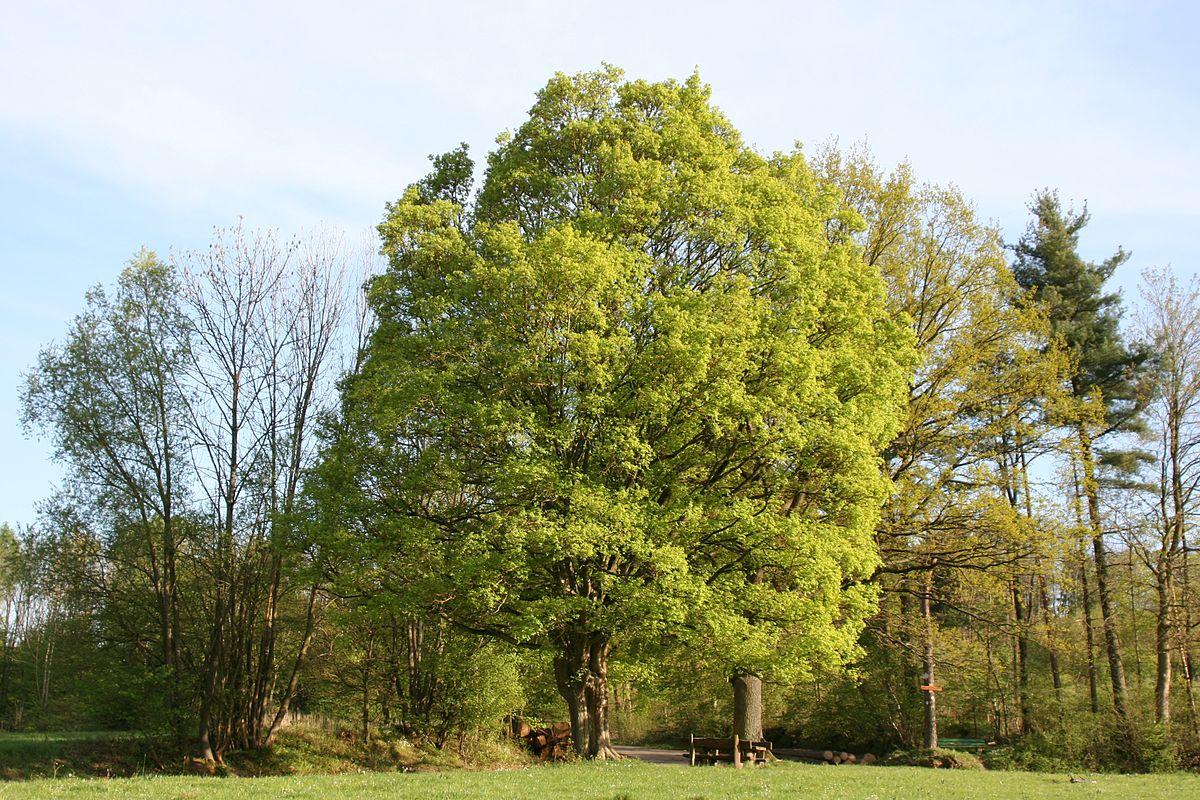 Feldahorn (Acer campestre) als Baum
