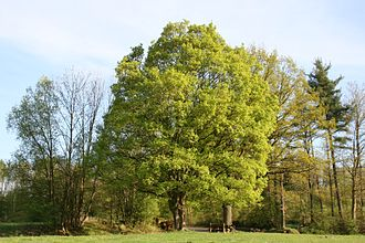 Acer campestre - Maple field tree, Weinsberg