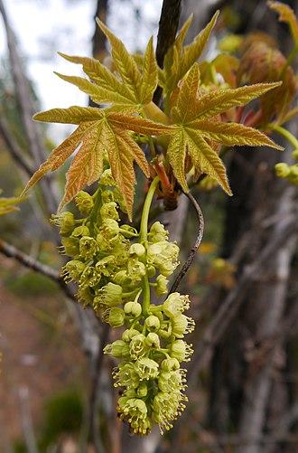 Acer macrophyllum - Image: Acer macrophyllum 2