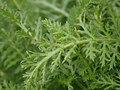 Achillea millefolium 102372117.jpg