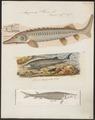 Acipenser sturio - 1700-1880 - Print - Iconographia Zoologica - Special Collections University of Amsterdam - UBA01 IZ14400025.tif