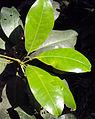 Acronychia pedunculata 11.JPG