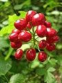 Actaea rubra fruit.jpg