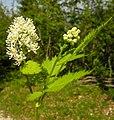 Actaea spicata flower (03).jpg