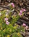 Adenandra fragrans.jpg