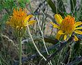 Adenophyllum cooperi 2.jpg