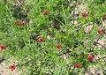Adonis aestivalis plant (13).jpeg