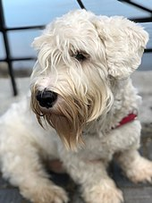 Sealyham Terrier Wikipedia