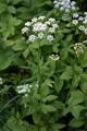 Aegopodium podagraria Harilik naat 01 estonia.png