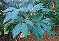 Aesculus californica kz1.jpg