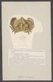 Aethra scruposa - - Print - Iconographia Zoologica - Special Collections University of Amsterdam - UBAINV0274 006 01 0055.tif