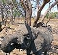 African Elephant (Loxodonta africana) female drinking ... (33039016121).jpg