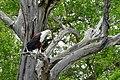 African Fish Eagle (Haliaeetus vocifer) (50114560257).jpg