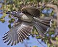 African Grey Hornbill (Tockus nasutus) - Flickr - Lip Kee (1).jpg