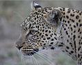 African Leopard (Panthera pardus pardus) - Flickr - Lip Kee (3).jpg