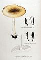 Agaricus phalloides — Flora Batava — Volume v11.jpg
