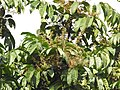 Aglaia spectabilis flowering2434.jpg