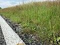 Agrostis stolonifera sl5.jpg