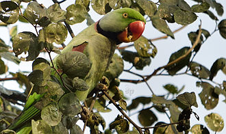 Alexandrine parakeet - Male in wild at Kolkata, India