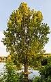 Aliso común (Alnus glutinosa), espacio natural protegido Dunarea Veche, Macin, Rumanía, 2016-05-28, DD 101.jpg