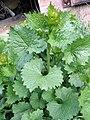 Alliaria petiolata, habitus.jpg