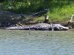 Alligator At Choke Canyon.jpg