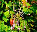 Allium carinatum ENBLA05.jpg