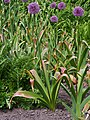 Allium hollandicum Purple Sensation Czosnek 2015-05-17 01.jpg
