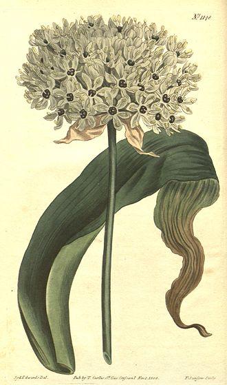 Allium nigrum - Image: Allium nigrum (Allium magicum) Bot. Mag. 29. 1148. 1809