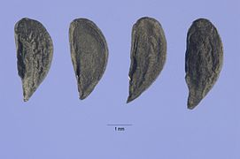 Allium paniculatum seeds.jpg