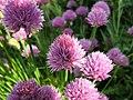 Allium schoenoprasum19794237.jpg