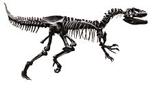 Allosaurus AMNH White Background.jpg