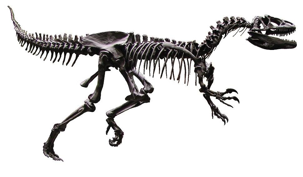 Allosaurus AMNH White Background