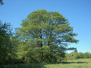Black alder tree (Alnus glutinosa) in Marburg,...