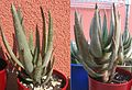 Aloe-dichotoma-young-time-comparison.jpg