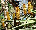 Aloe rupestris, goue bloeiwyse, Pretoria.jpg